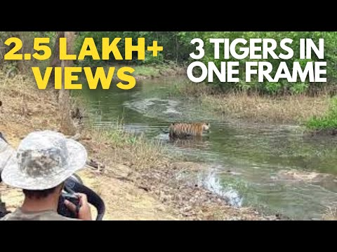 3 Tigers in one frame - Bandhavgarh Tiger Reserve - May 2018