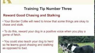 Border Collie Training - Stop Your Dog From Chasing And Stalking