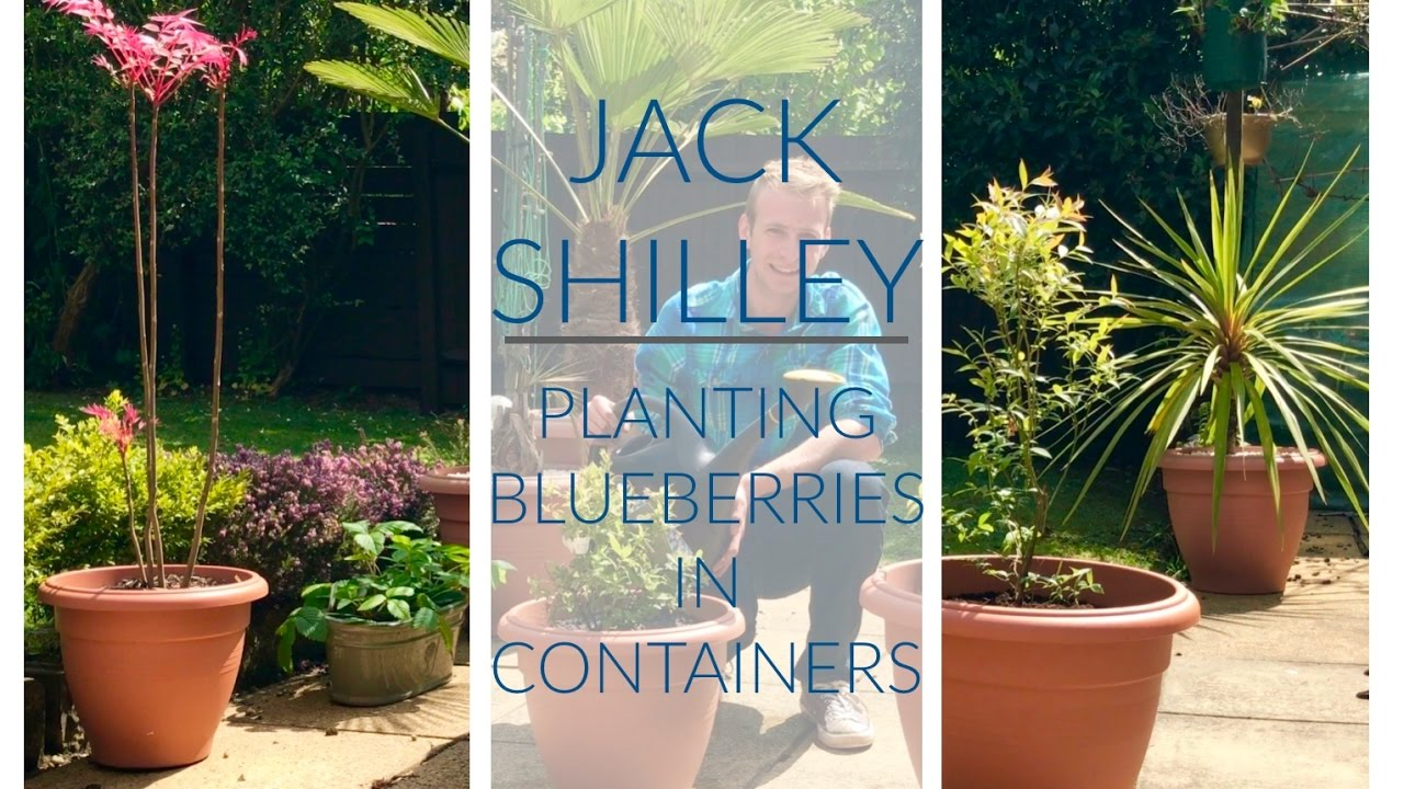 Planting Blueberries In Containers Jack Shilley