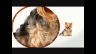 Yorkshire Terrier 101 Subs Español