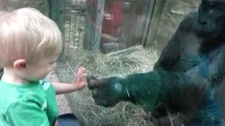 baby interacting with gorilla Colo at Columbus Zoo part 1