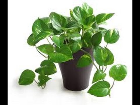 10 Indoor Plants That Clean The Air And Remove Toxins - YouTube on plant identification and names, food and names, vegetables and names, greenhouse and names, animals and names, ornamental grasses and names, herbs and names, beans and names, flowers and names, roses and names, cactus and names, pets and names, types of orchids and names, weeds and names, tools and names, wildflowers and names, seeds and names, daylilies and names, clothing and names, furniture and names,