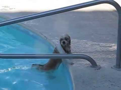 ALPHONSE MOUZON'S DOG SWIMMING IN THE HOTEL POOL