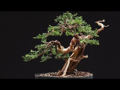wiring for junipers bonsai tree youtube rh youtube com Western Red Cedar Bonsai Chinese Juniper Bonsai