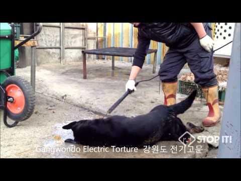 Gangwondo - South Korean Dog Meat Industry 강원도 개도살장