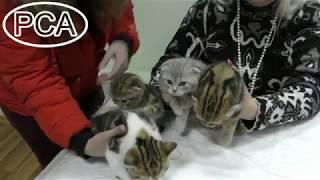 Шотландские котята скоттиш-фолд питомника Гордость Шотландии