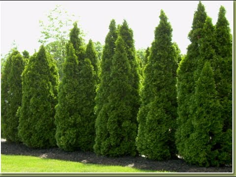 Growing The Emerald Green Arborvitae Youtube
