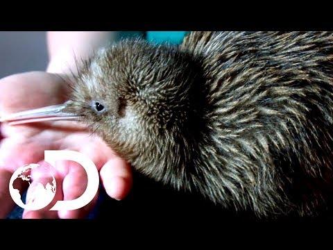 Saving Baby Kiwis From Extinction | Modern Dinosaurs