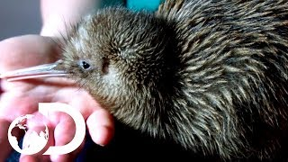 Saving Baby Kiwis From Extinction | Modern Dinosaurs