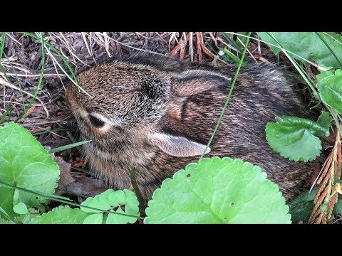 Five Baby Rabbits Leave Their Nest -  A Mini Documentary
