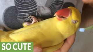 Parrot furiously squawks when owner stops petting her thumbnail