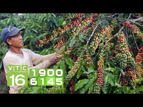 Kinh Nghiệm Bổ Sung Dinh Dưỡng Cho Vườn Cà Phê I VTC16