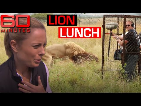 """I was nearly lion lunch!"" - Male lion decides film crew are on the menu"