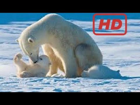 Documentary Polar Bears - Nature Documentary [Hd]