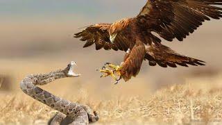 Орел в ДЕЛЕ! Орел против Змеи, Зайца, Серны, Лисы