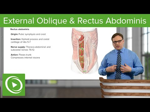 External Oblique & Rectus Abdominis Muscle – Anatomy | Lecturio