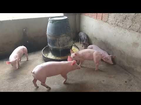 criação-de-porcos-do-ernesto-e-novidades-sobre-as-maternidades🐖🐷
