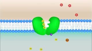 Как действует натрий-калиевый насос в клетке