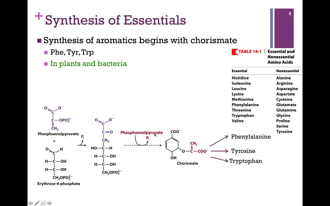 137-synthesis Of Essential Amino Acids