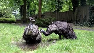 Chłodząca kąpiel strusi emu