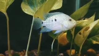 TEXAS, SEVERUM AND FIREMOUTH CHICHLID LIFESTYLE AND FEEDING,  living with Indian River Fishes