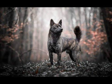 Kai Ken Tiger Dog - Natural Hunter and Extremely Rare Dog