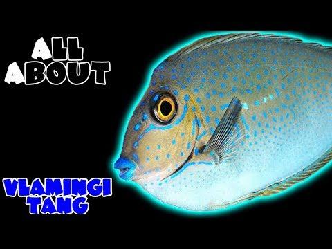 All About The Vlamingi Tang Or Big Nose Unicornfish