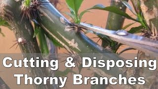 Disposing Thorny Plant Stems and Branches - Rose Cactus
