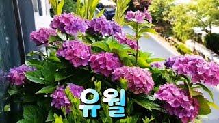 하이디의하루(Vlog)유월베란다정원/베란다걸이/블루수국…