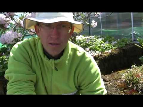 rododendroni istutamine