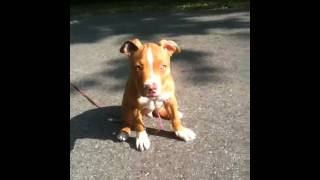 Pitbull Puppy Red Nose 10 Weeks Old