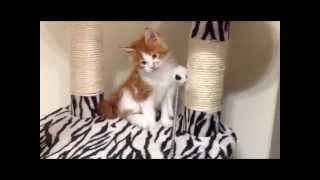 Мейн кун котёнок в Ставрополе. Хавьер Мистер Кун