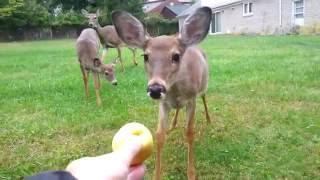 Hand feeding brave fawn