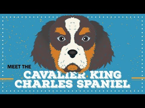 Cavalier King Charles Spaniel | Breed Profile