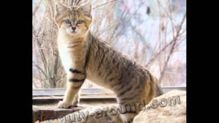 Топ 10 Самых красивых предстовителей семейства кошачьих
