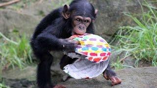 Chimpanzees Get Easter Egg Treats At Sydney's Taronga Zoo