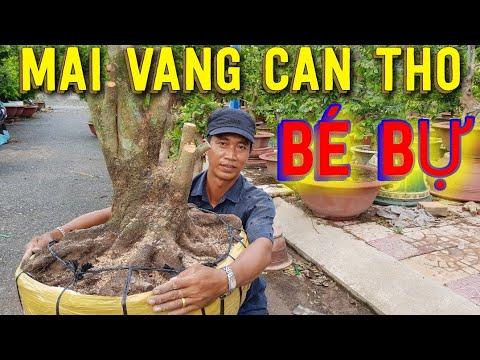 giá mai vàng Cần Thơ ngày 25/7/2019   bonsai Can Tho