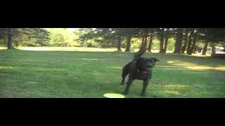 Playing Frisbee With Aussie Shepherd Mix And German Shepherd - Michigan Dogs