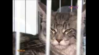 Сочинские кошки способны лечить болезни(Эксперт по кошачьим приехала из Бельгии выбрать самую лучшую кошку Сочи., 2014-09-16T15:16:33.000Z)