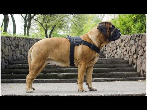 Adjustable Nylon Dog Harness for Bullmastiff and other Large Breed Dogs