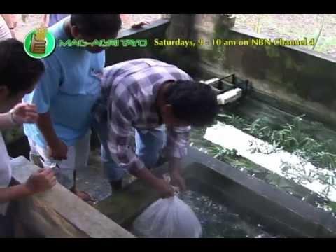 Ornamental Fish Culture Breeding Grow Out Palamuting Isda Part 2