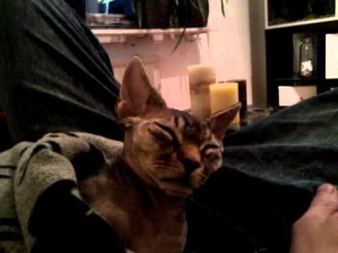 My Devon Rex, Sheldon, is unwillingly falling asleep