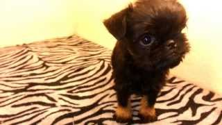 Brussels Griffon Puppies For Sale In Texas