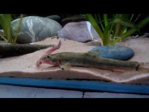 Uk Native Fish , Stone Loach (Barbatula Barbatula)  Eating Worms