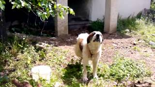 wild greek dog
