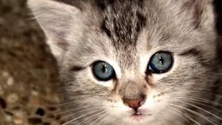 Порода кошек. Охоз азулез. Необычная кошка,среднего размера с красивы глазами.