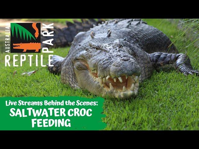 LIVE: SALTWATER CROCODILE FEEDING | AUSTRALIAN REPTILE PARK