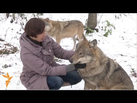 Belarusian Family Take in Entire Family of Wolves, Raise Them as Pets