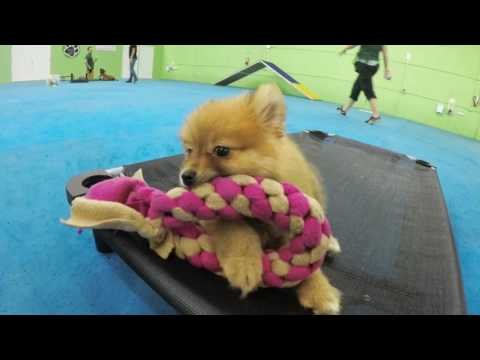 Gigi the Teacup Pomeranian - Miami Dog and Puppy Training
