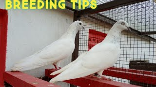Pigeons Breeding Tips || Kabootar ka jora lagana